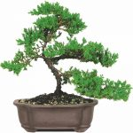 Tipuri de bonsai